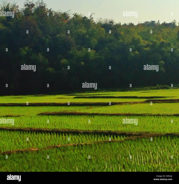 Campo di riso Immagini Stock