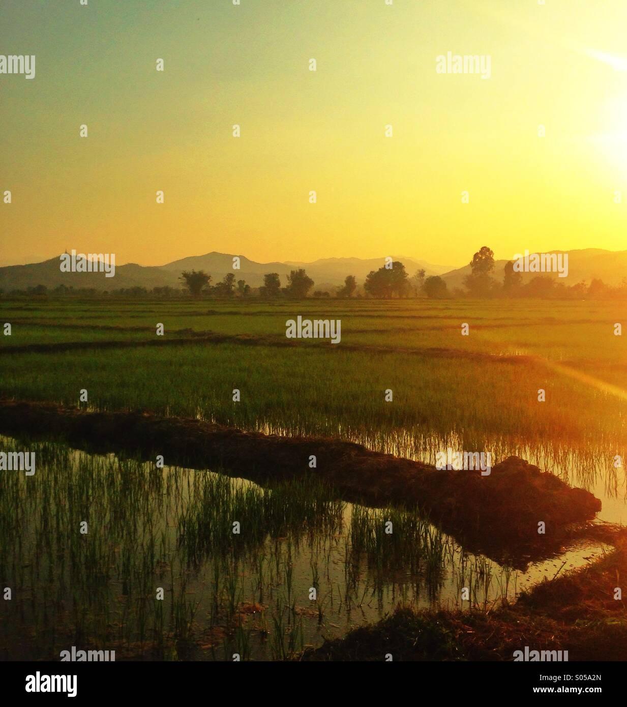 Campo di riso tramonti Immagini Stock