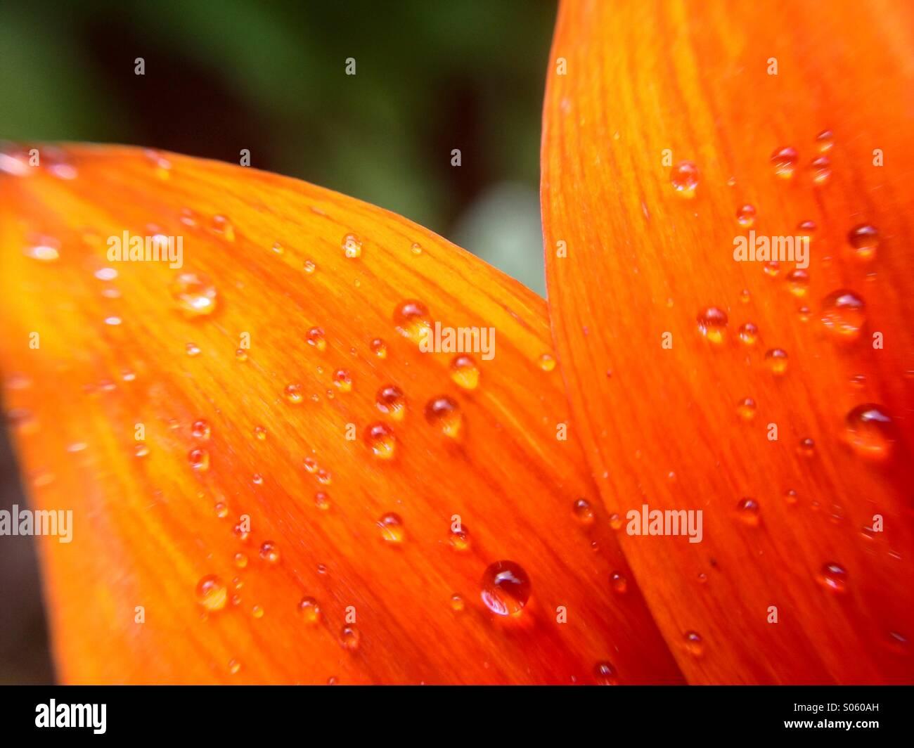 Gocce di acqua su un petalo gazania Immagini Stock