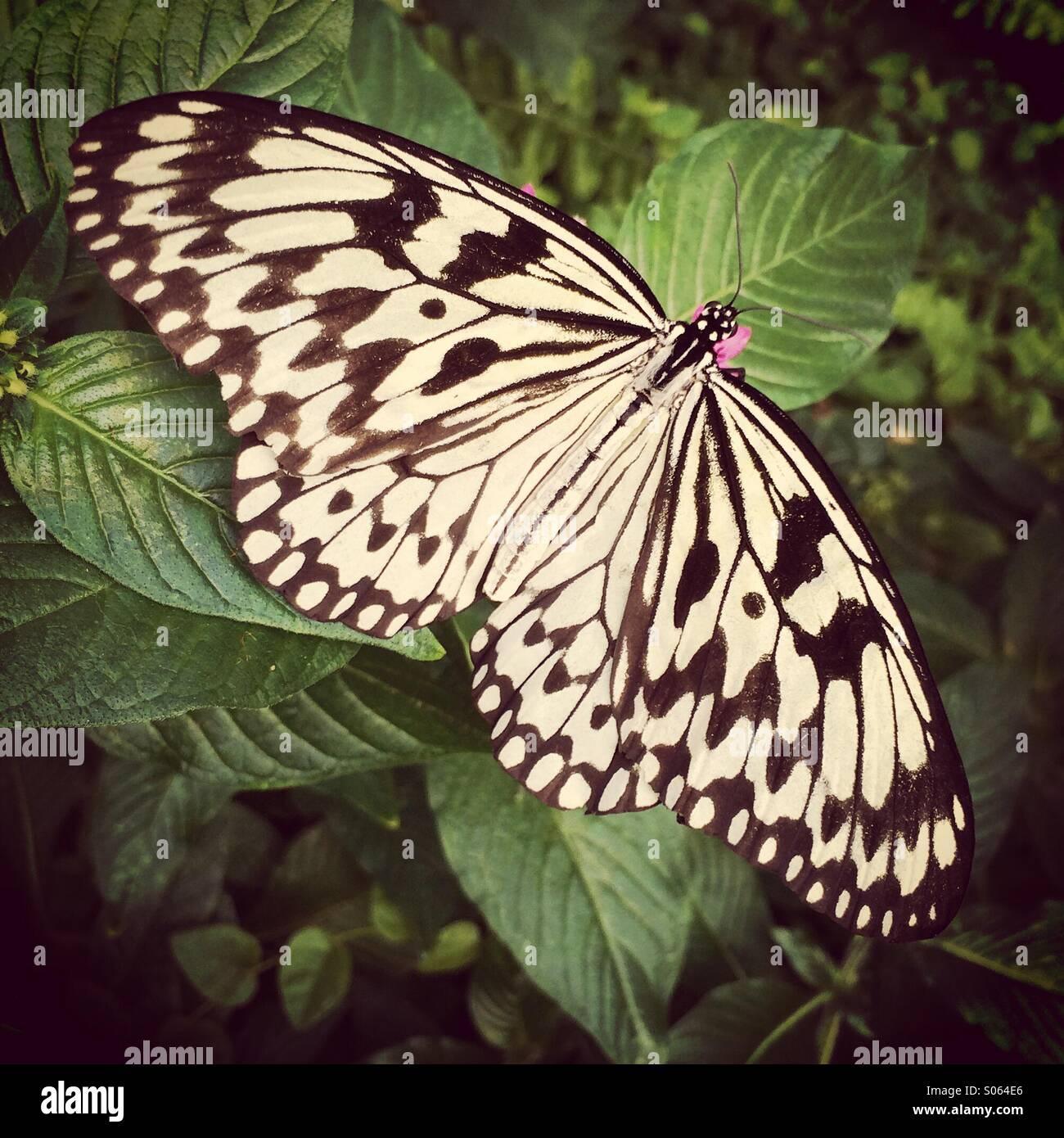 La carta di riso o carta aquilone Butterfly (Idea leuconoe) nel sud-est asiatico. Immagini Stock