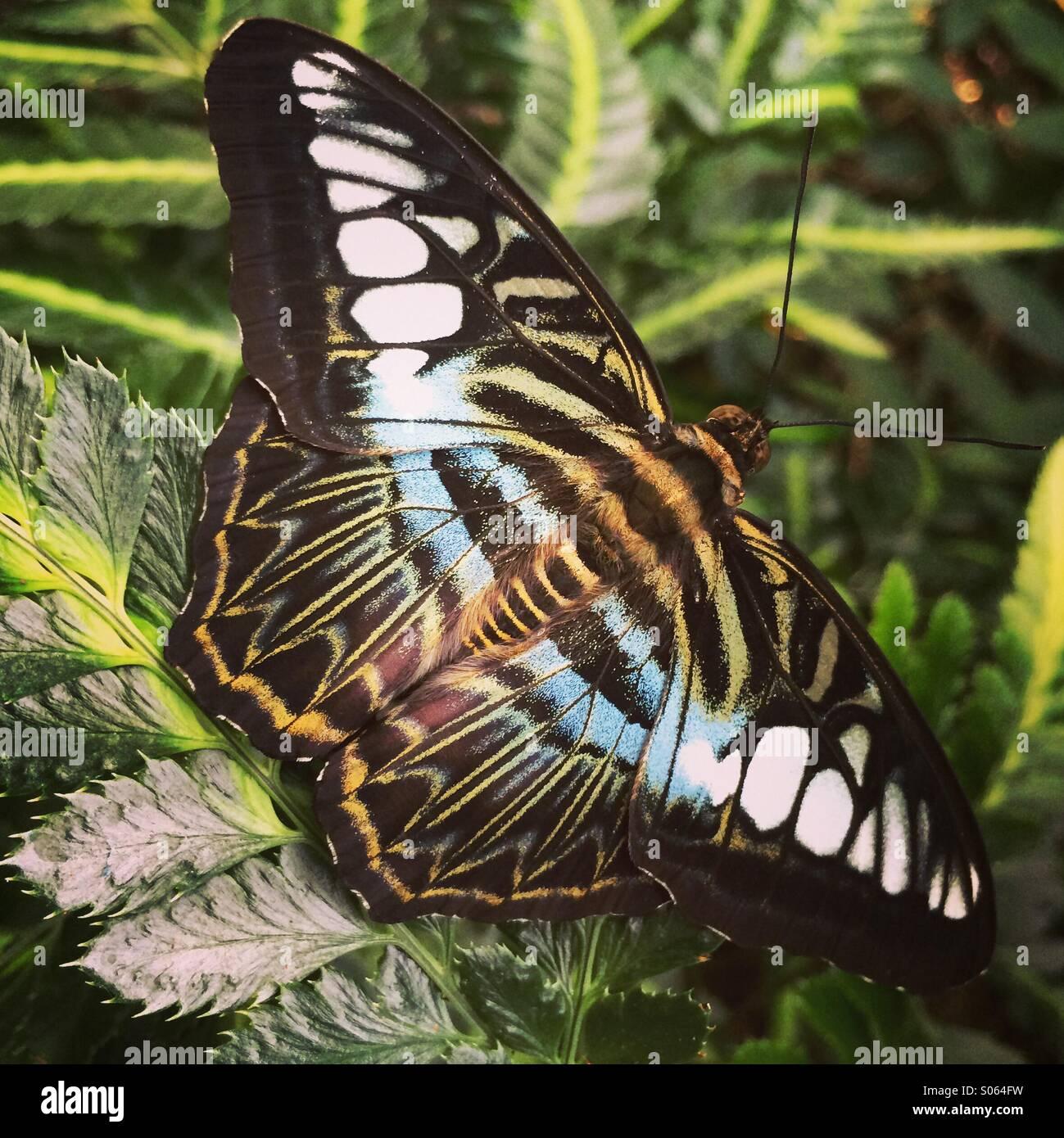 Clipper Butterfly (Parhenos Sylvia) con ali stese, Asia Immagini Stock