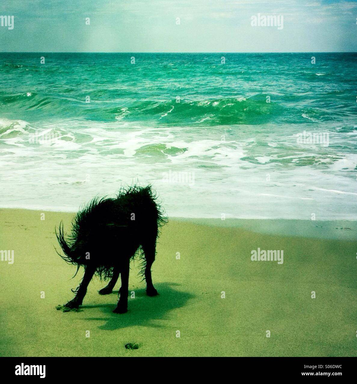 Un nero cane labradoodle shakin off acqua sulla spiaggia. Ventura California USA. Foto Stock