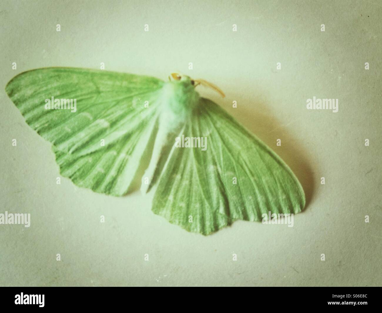 Lepidottero verde Immagini Stock