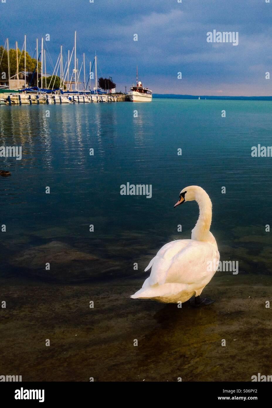 Cigno sul lago. Le acque turchesi di Ungheria Lago Balaton offre un incredibile sfondo a questo White Swan. Immagini Stock