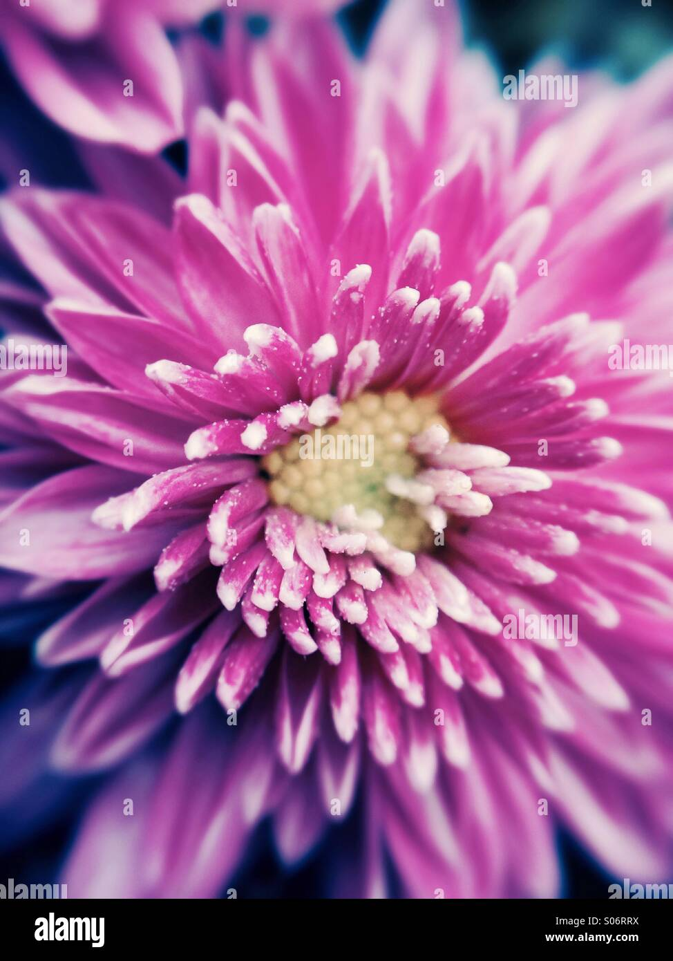 Crisantemo viola Foto Stock