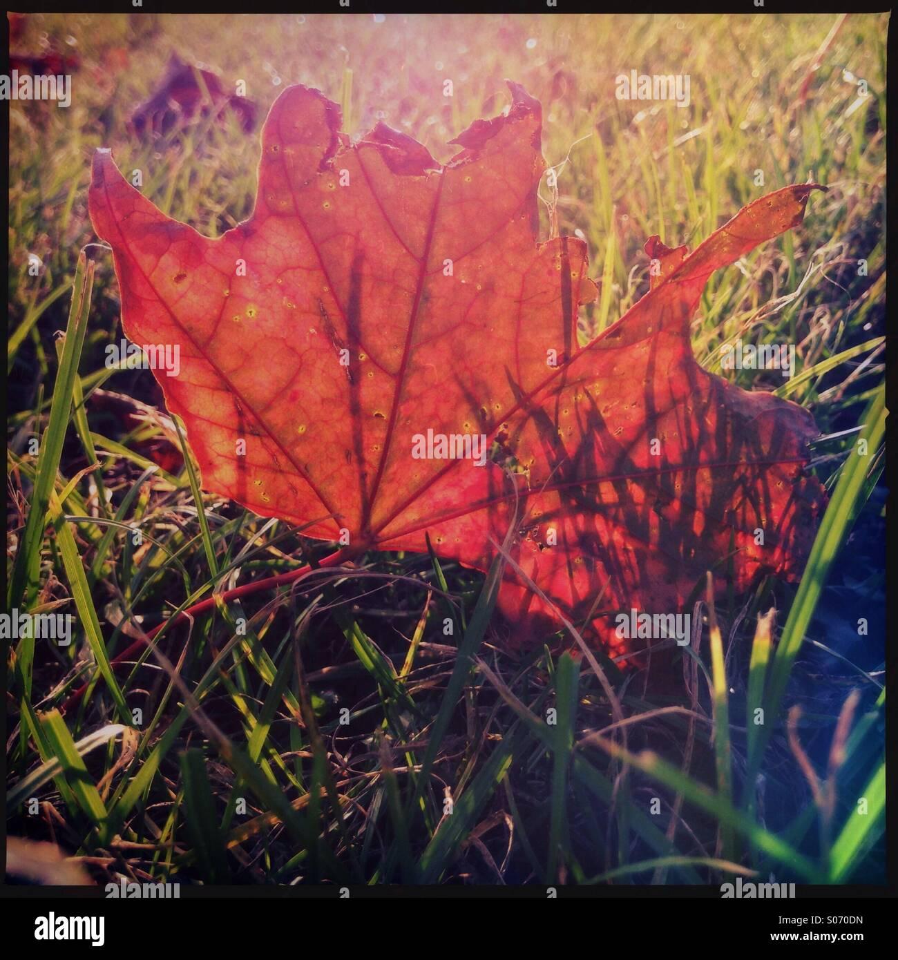 Rosso foglie autunnali nel sole del pomeriggio Immagini Stock