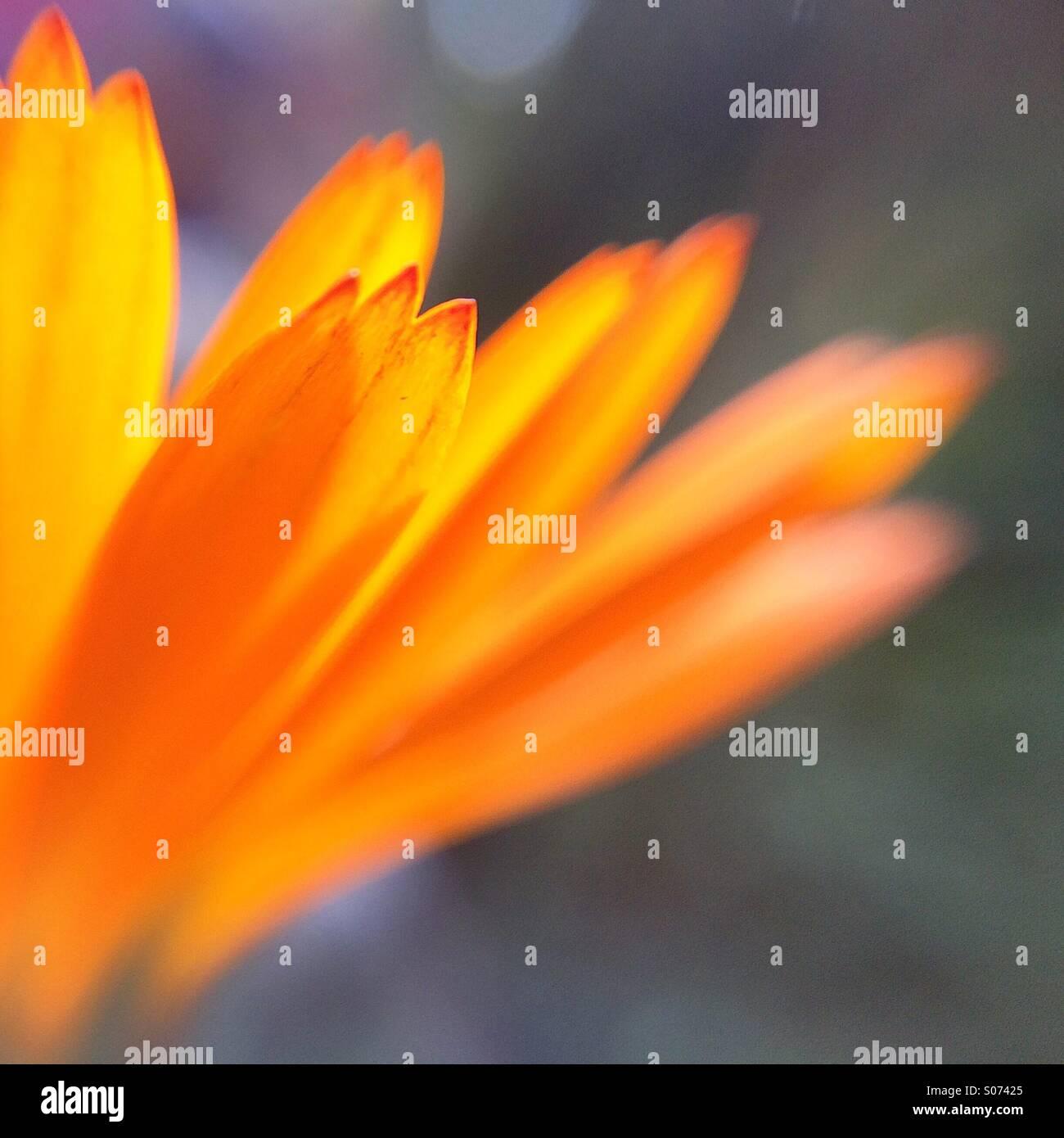 Macro dei petali di un fiore di arancia Immagini Stock