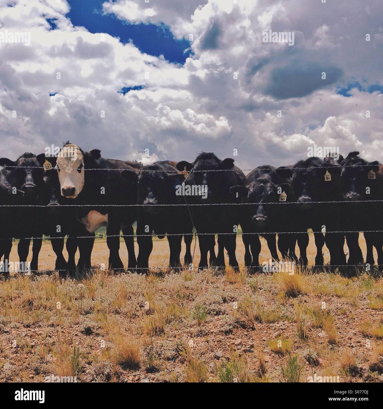 Riga delle mucche Immagini Stock