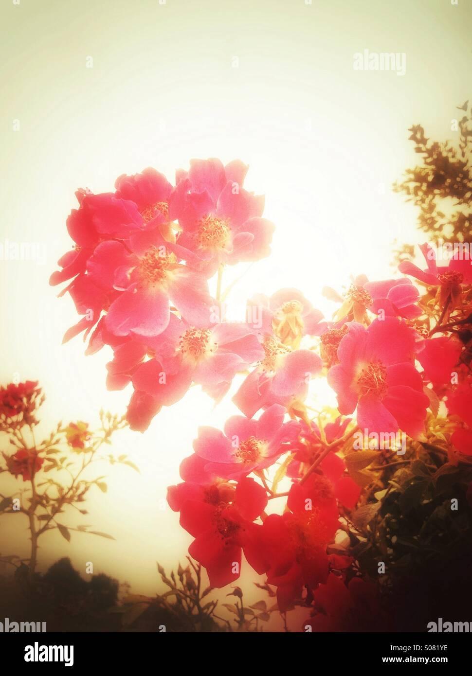 Arancione Rosa fiori Immagini Stock