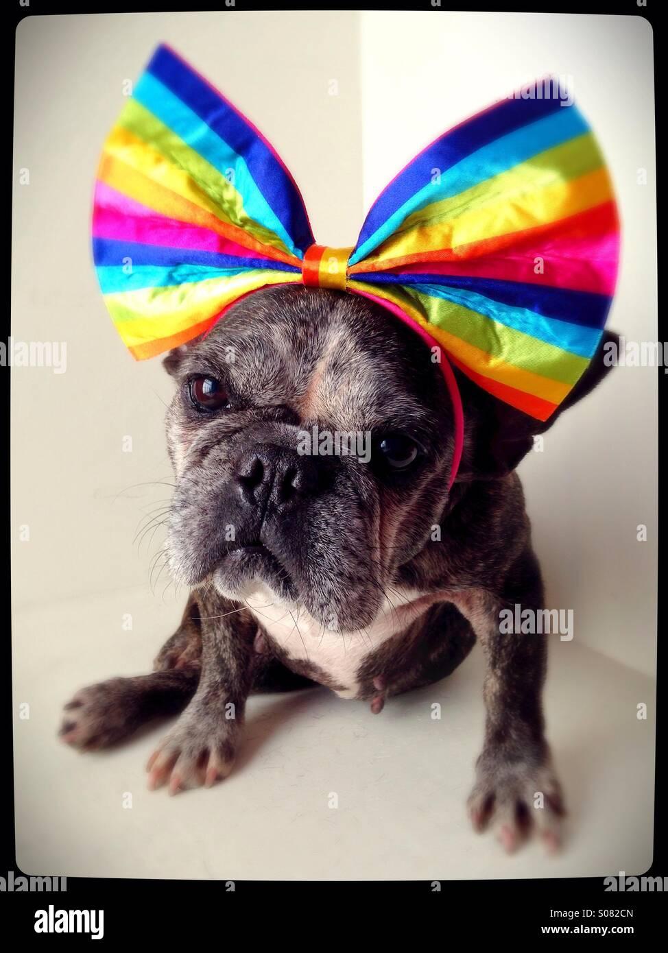 Un simpatico vecchio bulldog francese indossando un arcobaleno prua. Immagini Stock