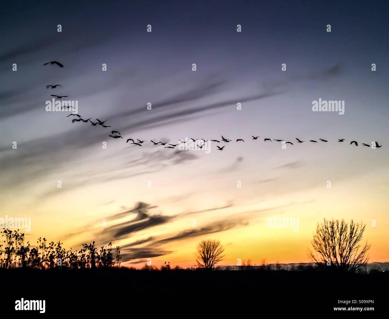 Uccelli che vola verso il tramonto. Immagini Stock