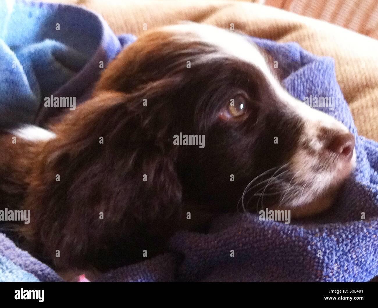 Vasca Da Bagno English : Bella english springer spaniel cucciolo ragazza con bellissimi