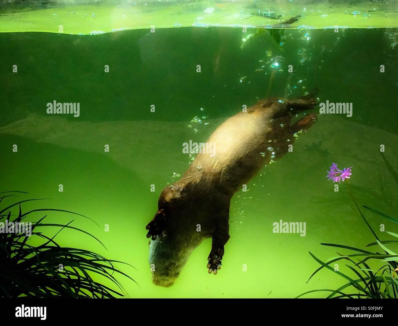 Asian piccoli artigli lontra (Aonyx cinerea) Immagini Stock