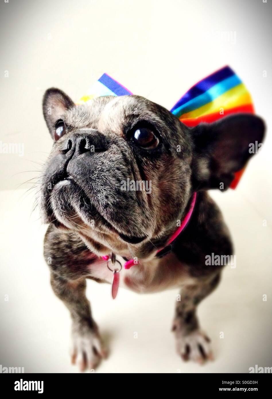 Un simpatico vecchio bulldog francese indossando un arcobaleno striped prua. Immagini Stock