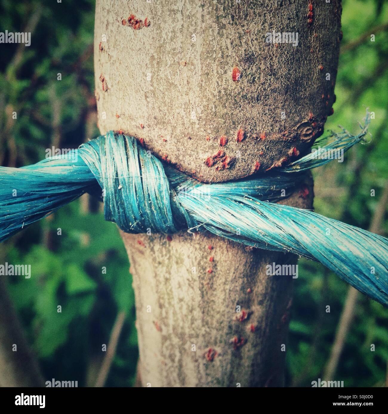 Una stringa di plastica legata intorno ad un albero con un nodo è cresciuto in Immagini Stock