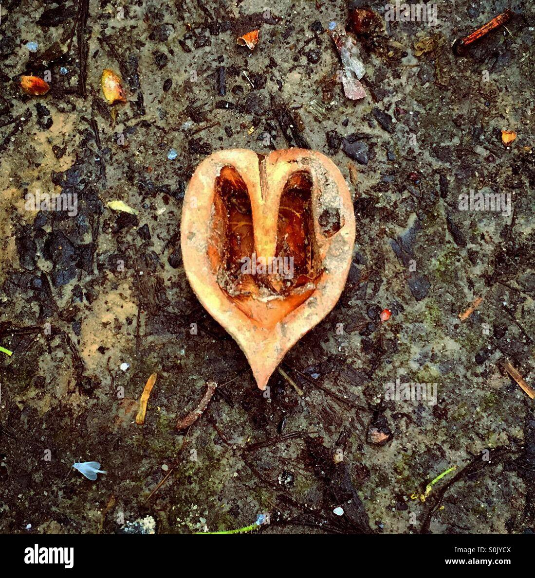 A forma di cuore shell il dado sul pavimento sporco Immagini Stock