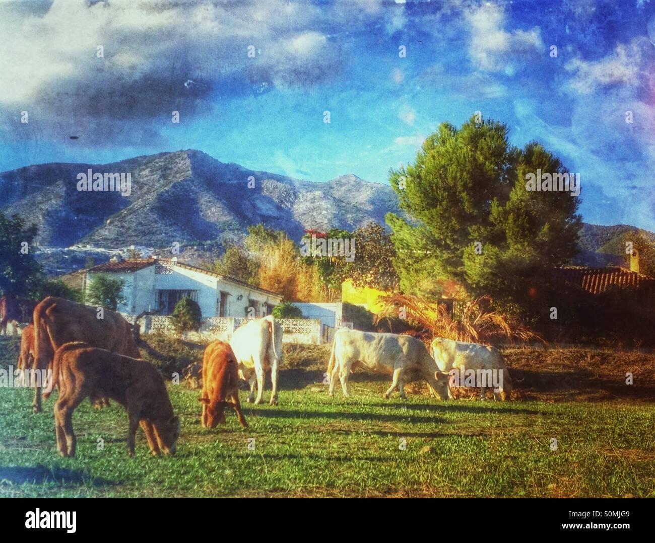 Mucche al pascolo, Spagna Immagini Stock