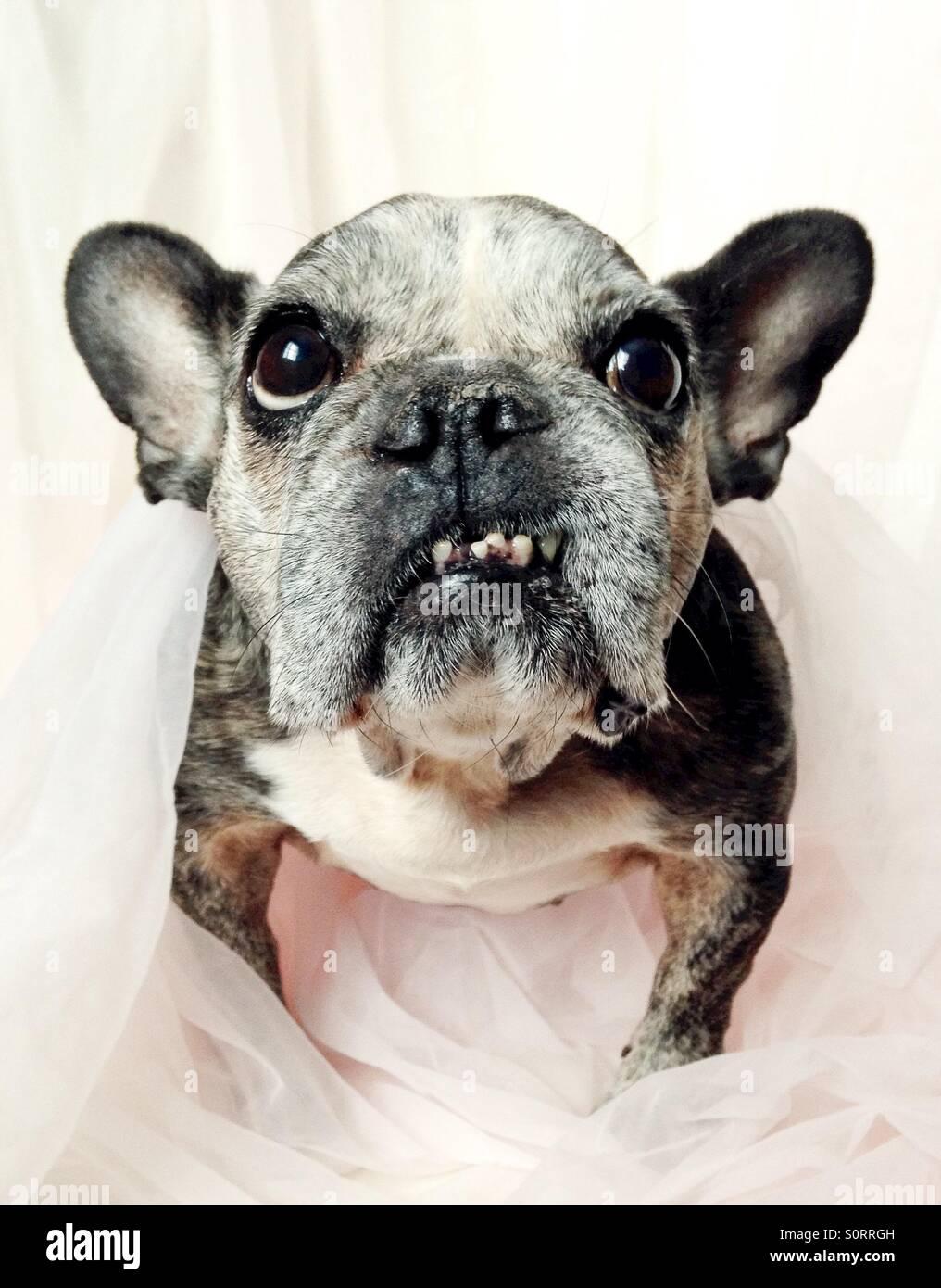 Un close-up di un simpatico vecchio bulldog francese. Immagini Stock
