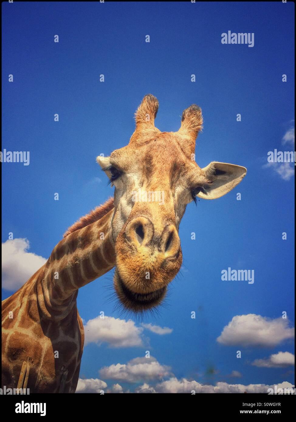 Giraffa. Immagini Stock