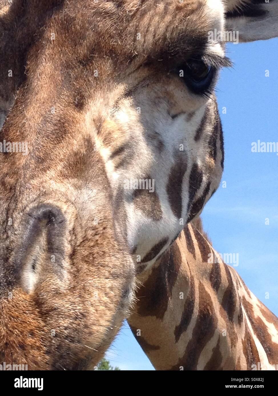 Fronte della giraffa Immagini Stock