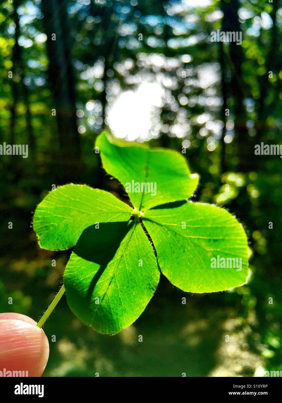 Quattro leafed clover Immagini Stock