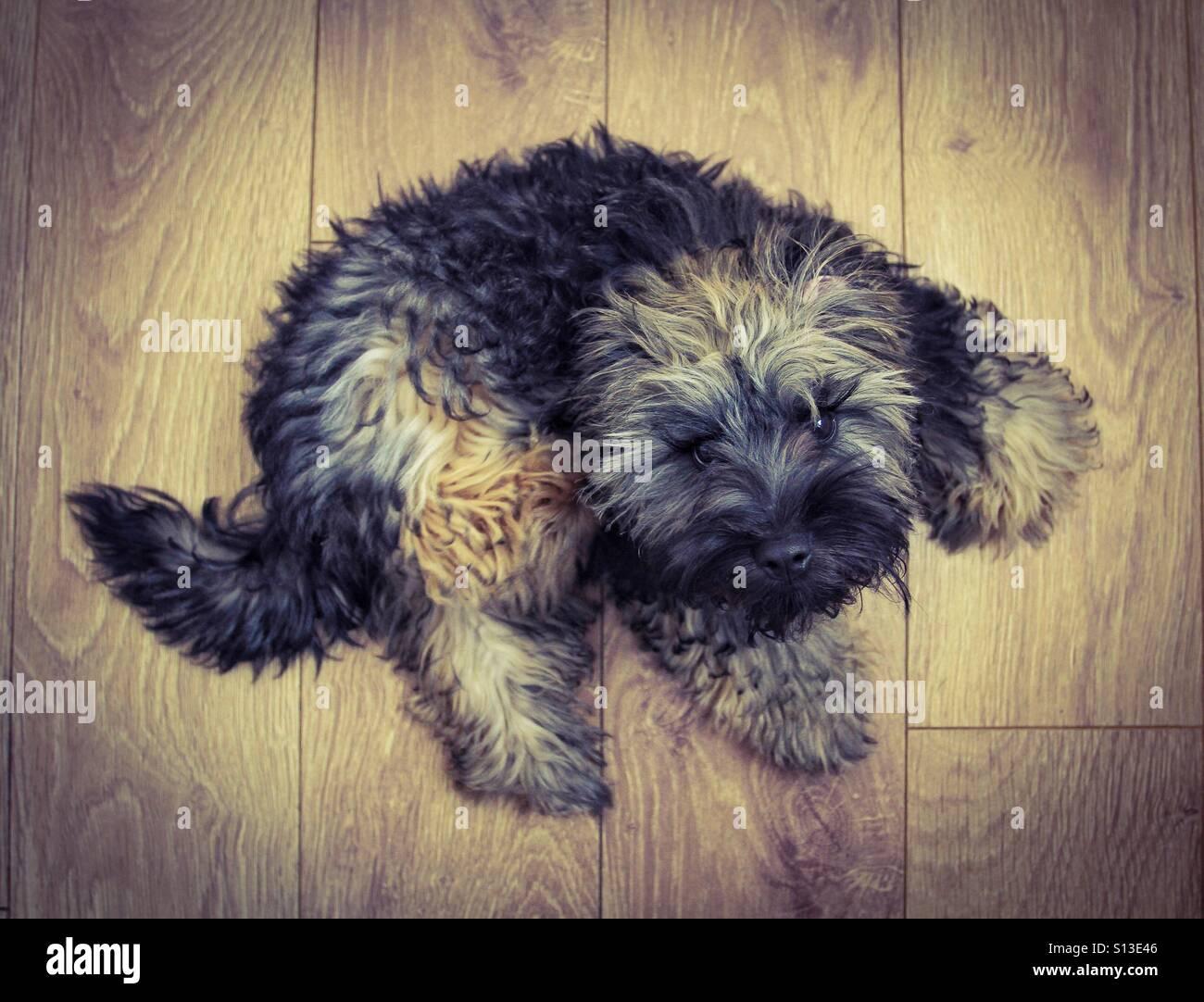 Guardando verso il basso a partire da sopra su una pelliccia, cane peloso guardando verso l'alto per la telecamera che si posa su un pavimento di legno. Foto Stock