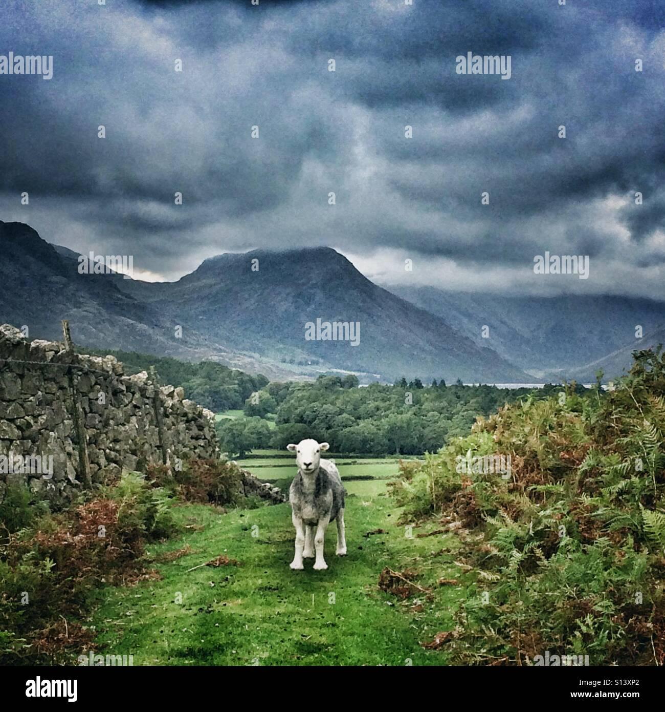 Un Herdwick pecore in Cumbria, Lake District Immagini Stock