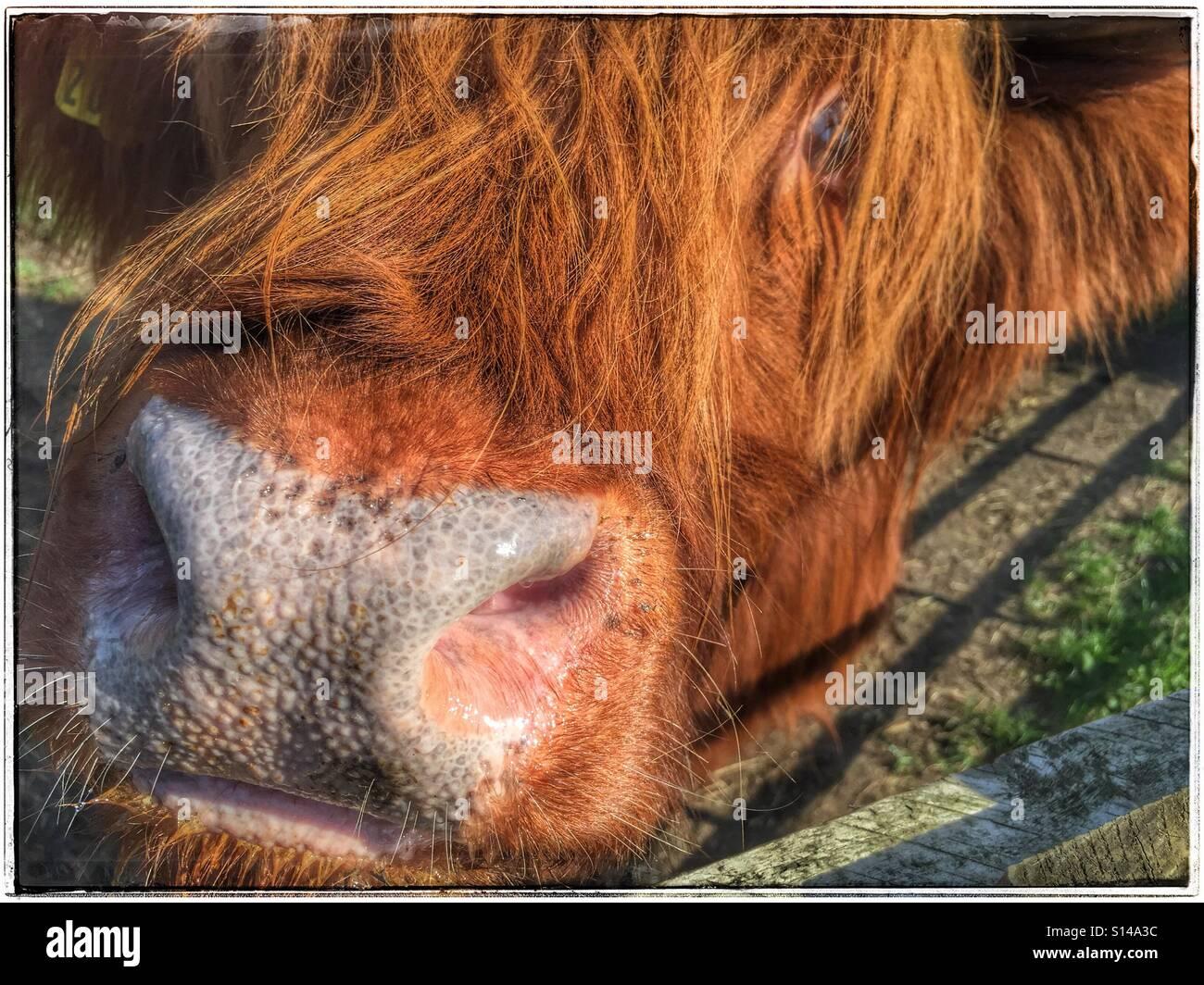 Close up di highland faccia del bestiame Immagini Stock