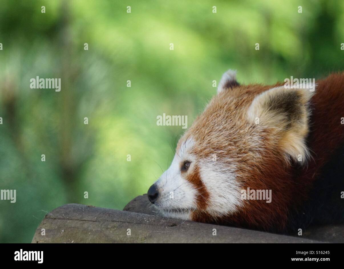 Un panda rosso è godendo il pomeriggio in Pairi Daiza zoo in Belgio Foto Stock