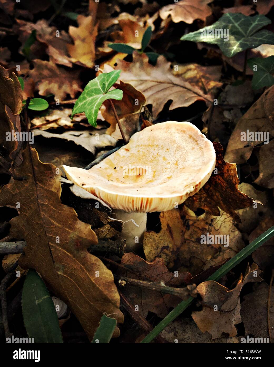 I funghi nel bosco. Gurb, Spagna Immagini Stock