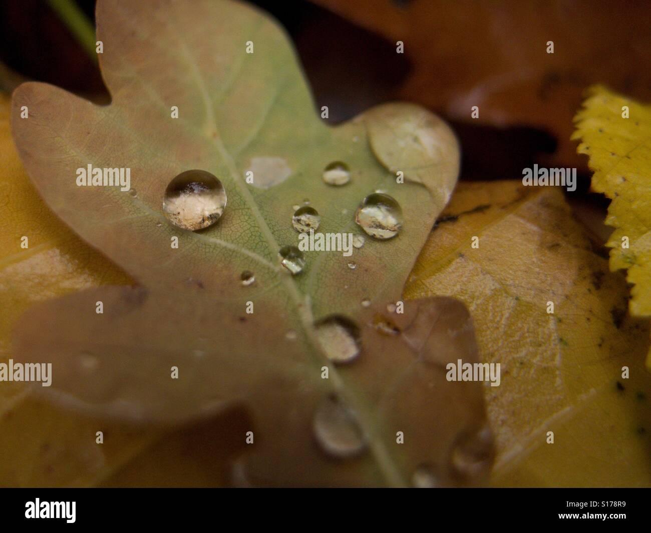 La rugiada su una foglia di quercia Immagini Stock