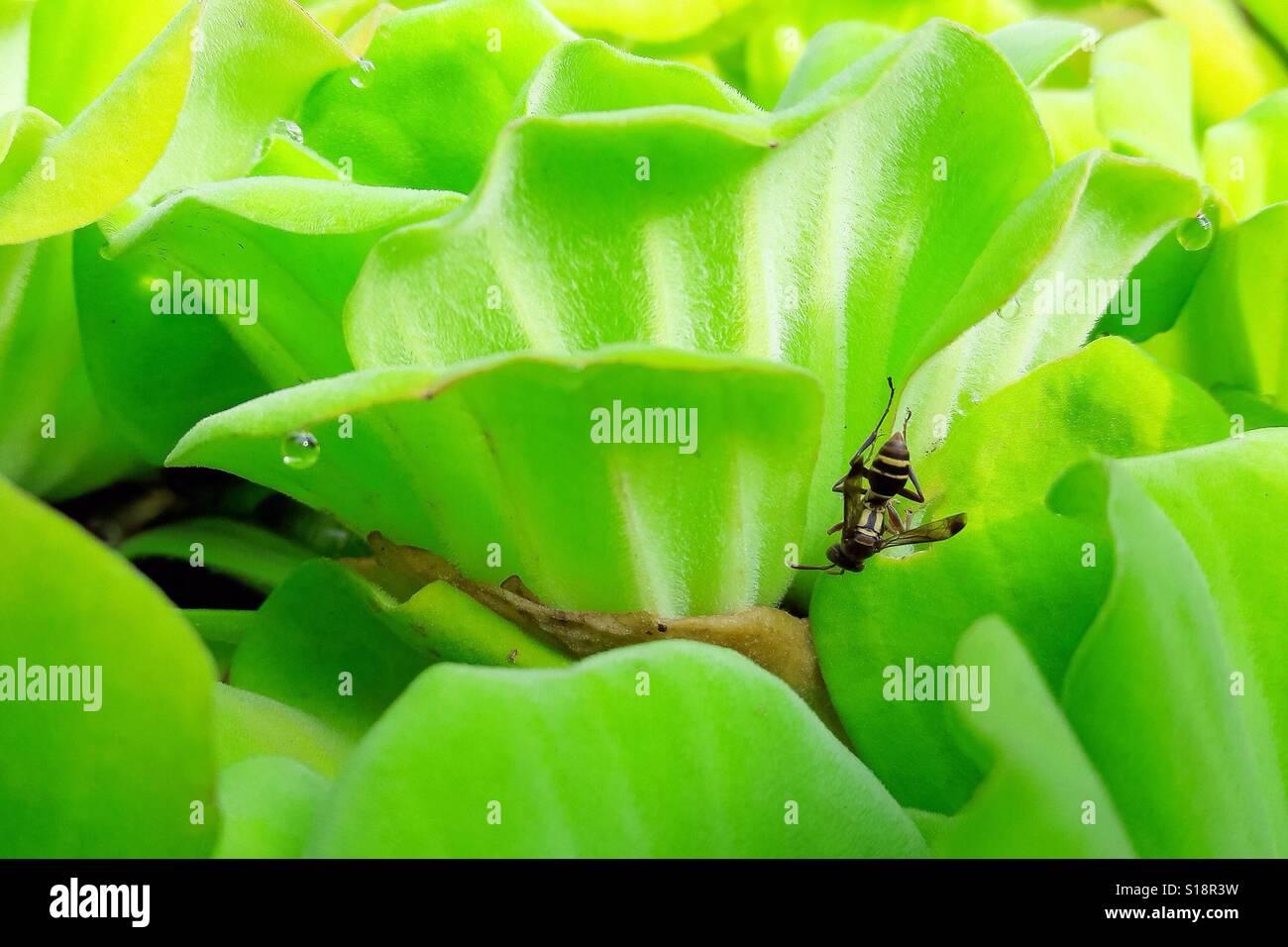 Verde dell'ape. Foto Stock