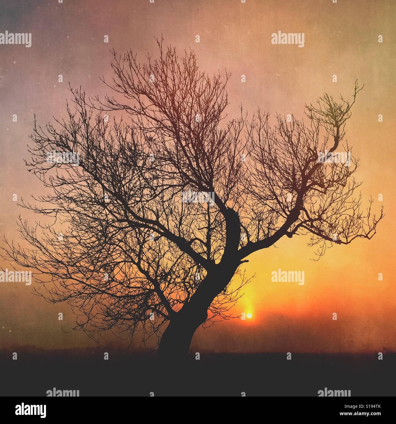 Il frassino al sorgere del sole in inverno Foto Stock