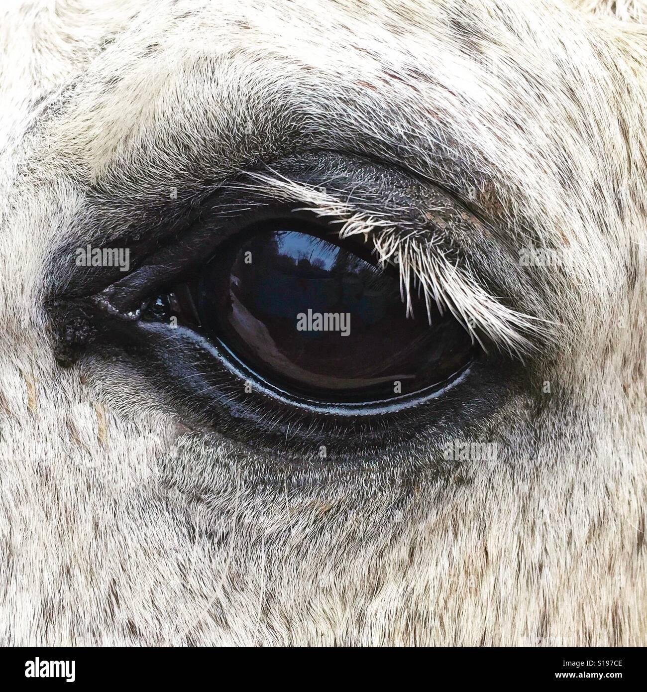Occhio del cavallo Foto Stock