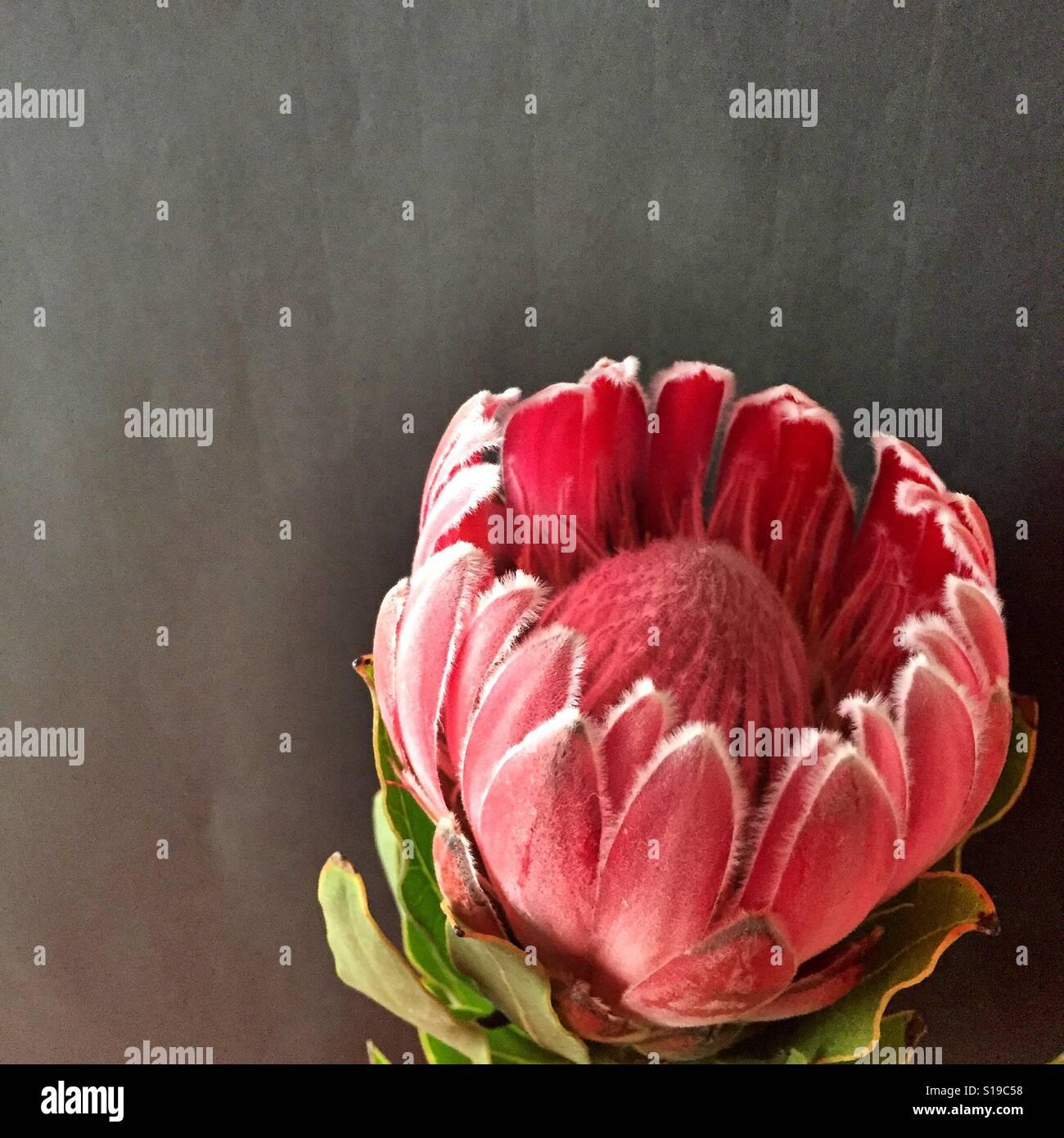 Un bellissimo fiore protea Foto Stock