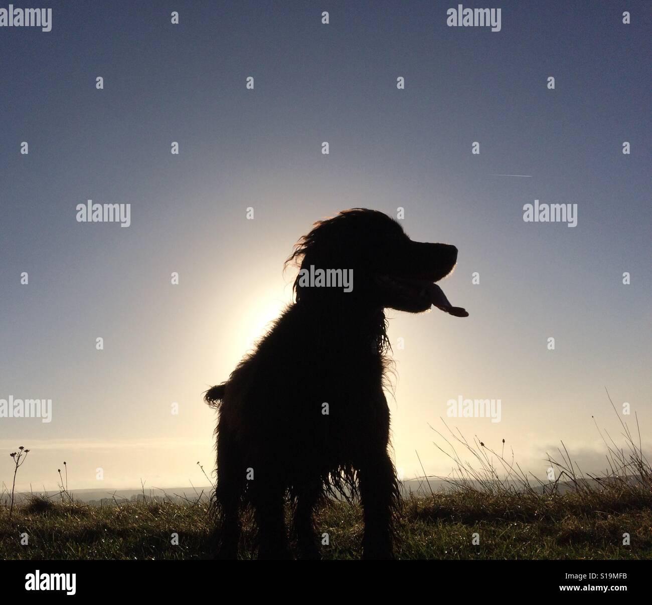 Silhouette di un piccolo spaniel cane ansimante davanti a un basso sun Foto Stock