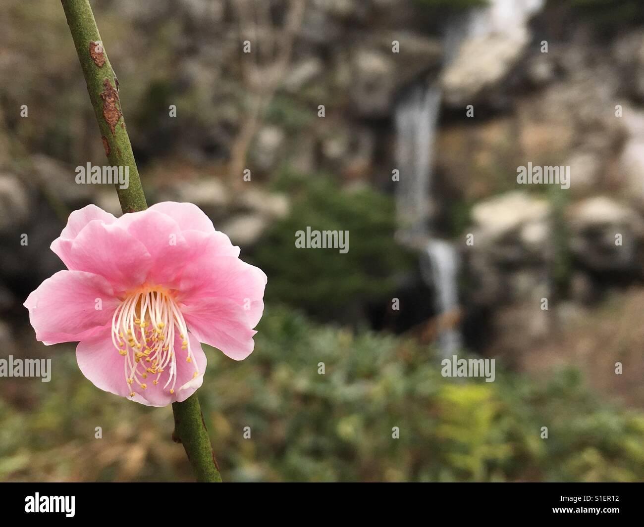 Fiore di ciliegio squirt
