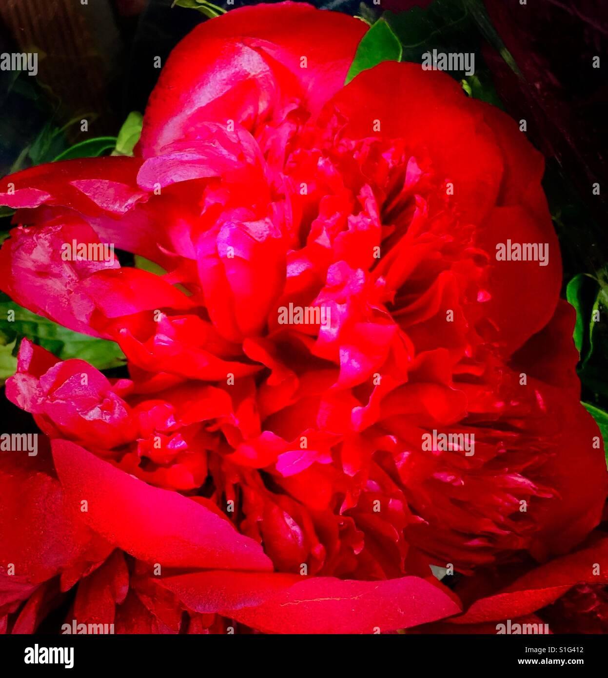 Radiant rosso rubino Peonia reminiscenza del periodo Vittoriano Immagini Stock