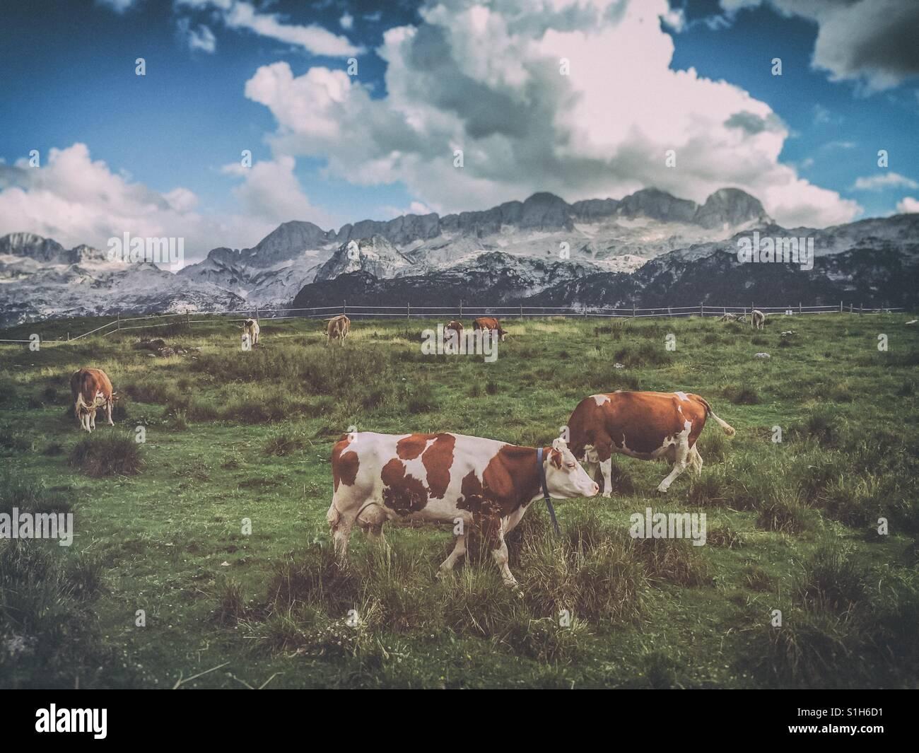 Vacche su un prato con le montagne sullo sfondo (altopiano del Montasio, sulle Alpi Giulie, Italia) Immagini Stock