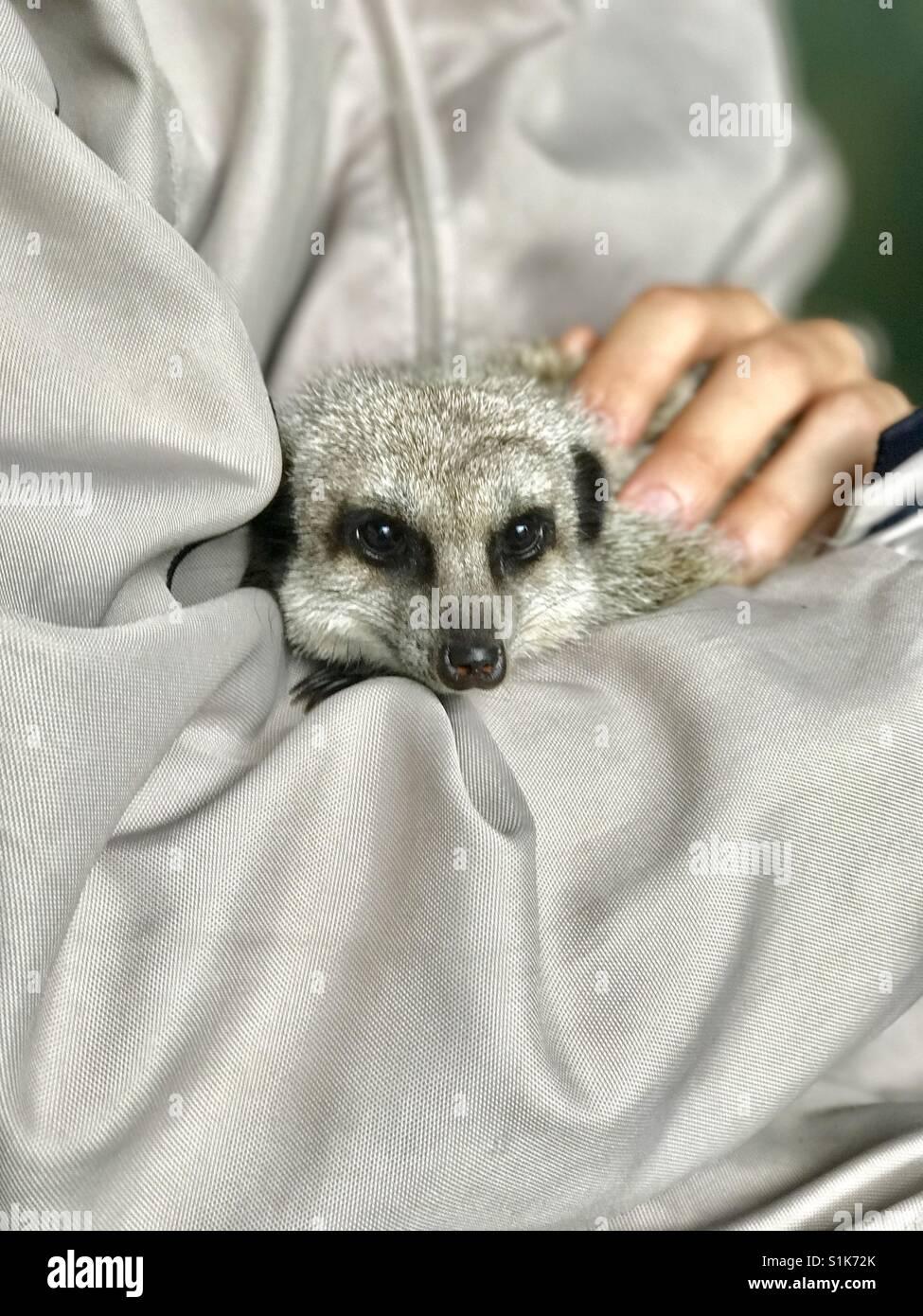 Meerkat coccole Immagini Stock