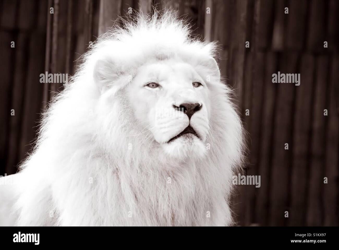 Primo piano immagine a colori del bellissimo leone bianco - Immagine del mouse a colori ...