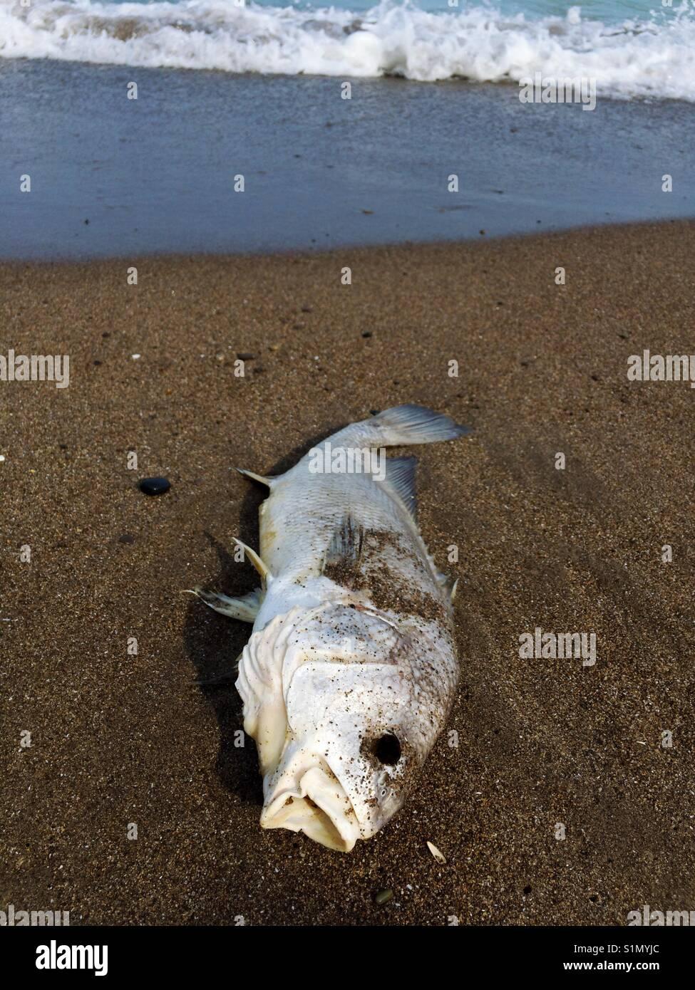 I pesci morti lungo la riva. Immagini Stock