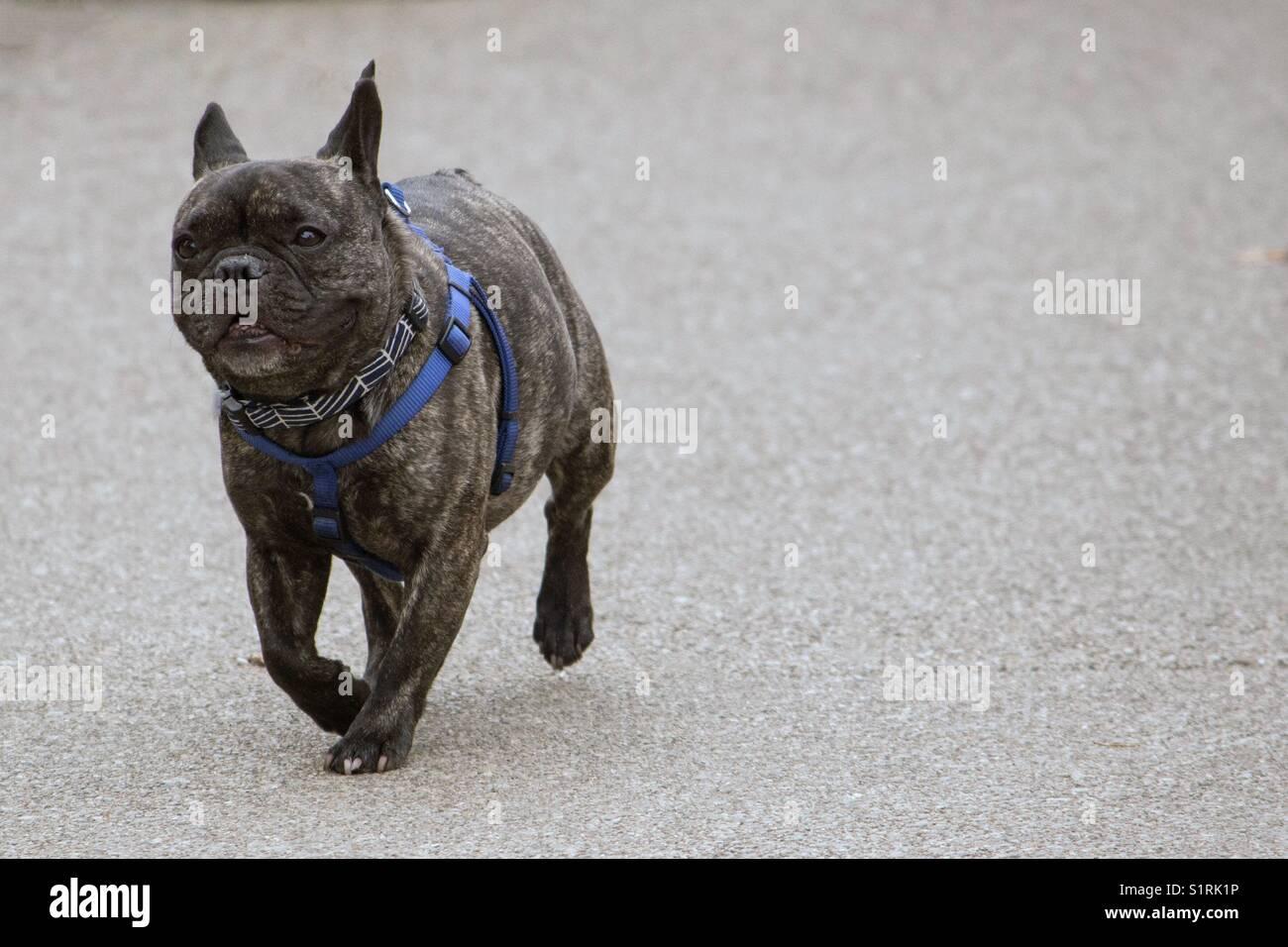 Piccolo Grigio Bulldog Francese In Esecuzione E Isolate Su Un Sfondo