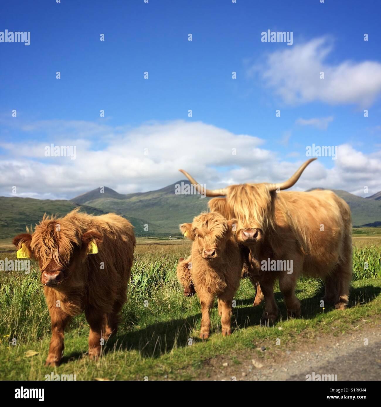 Highland vacche 🐄- Scozia Scotland Foto Stock