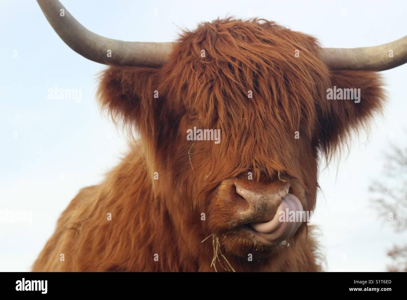 mucca dell'altopiano Immagini Stock