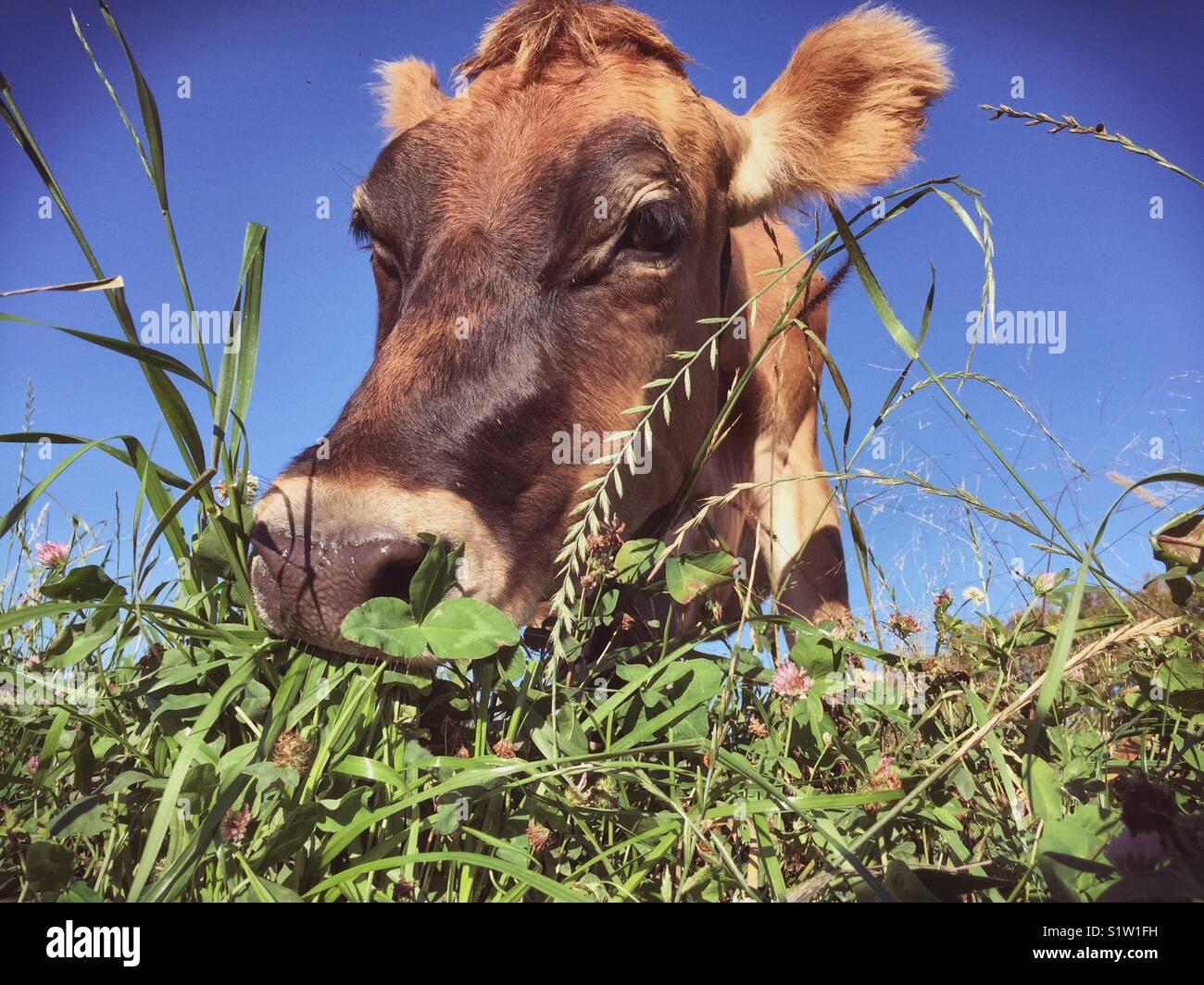 Jersey latte di vacca al pascolo al pascolo Immagini Stock