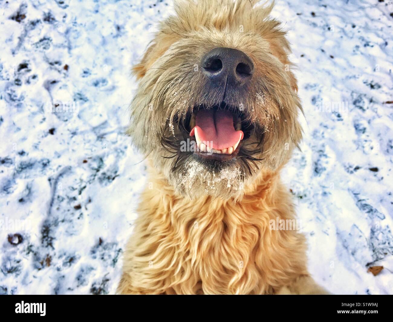 Felice di neve soffice cane Immagini Stock