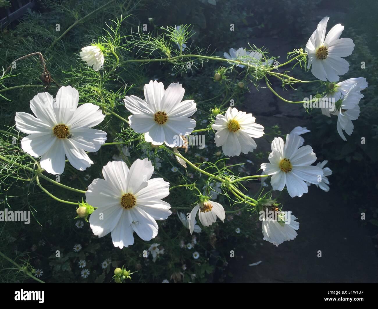 """Cosmo """"purezza"""" la mattina presto. Asteraceae, pianta di giardino, giardino cottage, fiori recisi, bianco. Immagini Stock"""