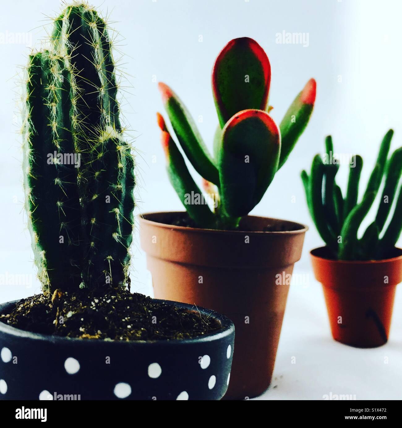 Le tre piante succulente in attesa di crescere grande Immagini Stock