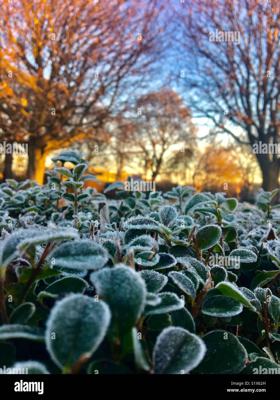 Congelati lascia su di una siepe di sunrise con alberi in background Immagini Stock